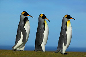King penguin courtship (Aptenodytes patagonicus) Falkland Islands - TJ Rich