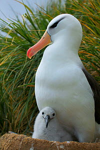 Black-browed albatross on nest with chick (Thalassarche melanophrys). Falkland Islands. - TJ Rich