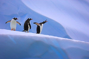 Gentoo penguins on iceberg (Pygoscelis papua) Antarctic Peninsula - TJ Rich