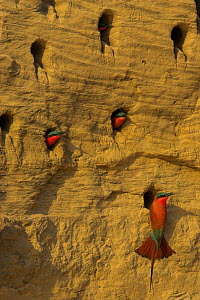 Carmine Bee-eaters at nesting colony {Merops nubicus} South Luangwa NP, Zambia  -  TJ Rich