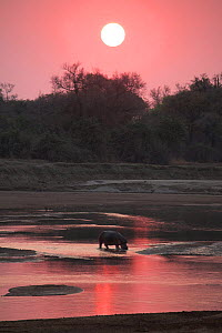 Hippopotamus in Luangwa river at sunrise, South Luangwa National Park, Zambia  -  TJ Rich
