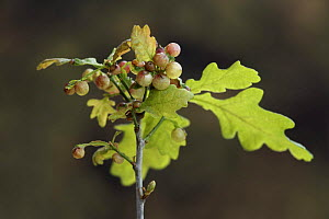 Cherry galls on Oak sapling caused through parasitism by {Cynips quercusfolii} gall wasp, Mixed woodland, Spring, Derbyshire, UK - Chris O'Reilly