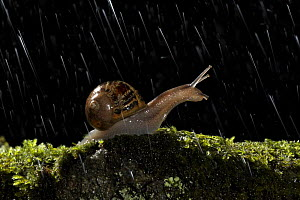 Common snail {Helix aspersa} Adult on moss covered stone at night in rain, Garden, Autumn, Derbyshire, UK - Chris O'Reilly