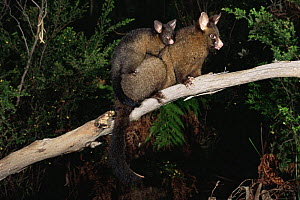 Female Common Brushtail Possum (Trichosurus vulpecula) carrying young on back, Tasmania, Australia - Dave Watts