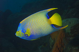 Queen Angelfish (Holacanthus ciliaris) Bonaire, Netherlands Antilles, Caribbean photographed during making of BBC Planet Earth series 2005  -  Peter Scoones
