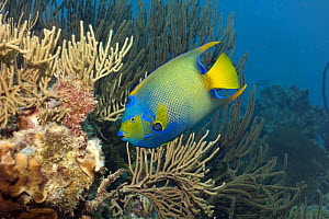 Queen Angelfish (Holocanthus ciliaris) on reef, Bonaire, Netherlands Antilles, Caribbean. photographed during making of BBC Planet Earth series 2005  -  Peter Scoones
