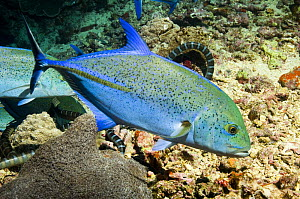 Bluefin trevally / jack (Caranx melampygus) with Sea snakes in hunting mode, Banda sea, Indonesia.  photographed during making of BBC Planet Earth series 2005  -  Peter Scoones