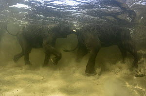 Underwater view of African Elephants {Loxidonta africana} playing, Okavango Delta, Botswana photographed during making of BBC Planet Earth series 2005  -  Peter Scoones