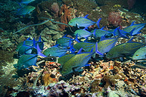Bluefin Trevallies / jacks (Caranx melampygus) and Chinese sea kraits (Laticauda semifasciata) hunting together over coral reef, Indonesia photographed during making of BBC Planet Earth series 2005 - PETER SCOONES