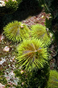 Green sea urchins (Strongylocentrotus droebachiensiss) Galapagos islands  -  Peter Scoones