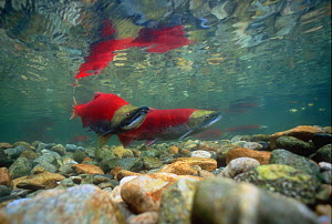 Sockeye salmon (Oncorhynchus nerka) male and female pair in terminal spawning phase. Adams River, British Columbia, Canada.  -  Peter Scoones