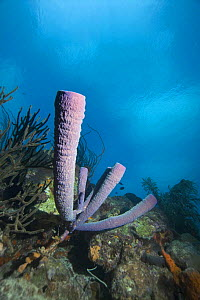 Stove pipe sponge (Aplysina archeri) Caribbean photographed during making of BBC Planet Earth series 2005  -  Peter Scoones