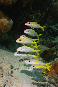 Yellow goatfish (Mulloidicthys martinicus) Bonaire. Netherlands Antilles, Caribbean photographed during making of BBC Planet Earth series 2005  -  Peter Scoones