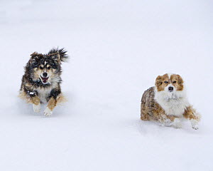 Female Red Merle and Red Tricolor Australian Shepherd dogs running in snow, Longmont, Colorado, USA.  -  Carol Walker