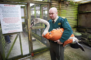 Injured Mute swan {Cygnus olor} being delivered to a bird rescue centre by RSPCA officer, UK - Jason Smalley