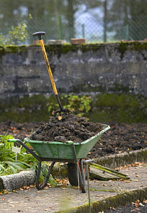 Wheelbarrow of manure in vegetable garden, UK  -  Jason Smalley