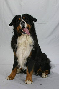 Domestic dog, Bernese Mountain Dog portrait  -  Petra Wegner