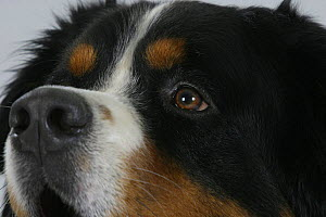 Domestic dog, close up of Bernese Mountain Dog's eye  -  Petra Wegner