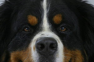 Domestic dog, close up of Bernese Mountain Dog's eyes - Petra Wegner