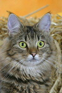 Norwegian Forest Cat, black-tabby-classic - Petra Wegner