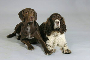 Domestic dogs, German Shorthaired Pointer and English Springer Spaniel lying down - Petra Wegner