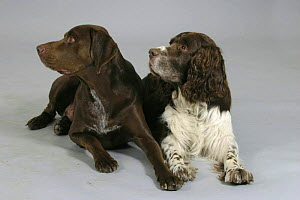 Domestic dogs, German Shorthaired Pointer and English Springer Spaniel looking in the same direction, lying down - Petra Wegner