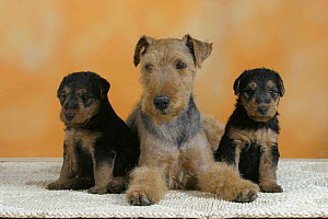 Domestic dogs, Welsh Terrier with two puppies - Petra Wegner