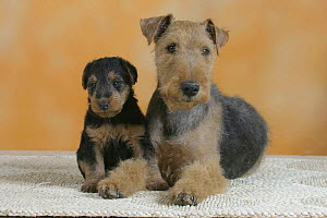 Domestic dog, Welsh Terrier with puppy - Petra Wegner