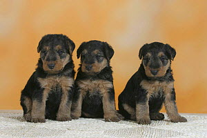 Domestic dogs, three Welsh Terrier puppies sitting in a line - Petra Wegner