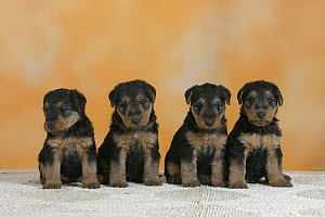 Domestic dogs, four Welsh Terrier puppies sitting in line - Petra Wegner