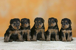 Domestic dogs, five Welsh Terrier puppies sitting in line - Petra Wegner