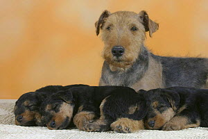 Domestic dogs, Welsh Terrier with three sleeping puppies - Petra Wegner