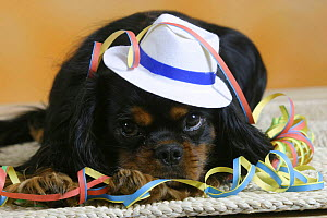 Domestic dog, Cavalier King Charles Spaniel (black and tan variation) wearing hat and covered with party streamer.  -  Petra Wegner
