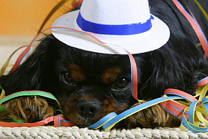 Domestic dog, close up of Cavalier King Charles Spaniel (black and tan variation) wearing hat and covered with party streamer.  -  Petra Wegner