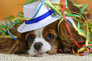 Domestic dog, Cavalier King Charles Spaniel (Blenheim variation) wearing hat and covered with party streamer.  -  Petra Wegner