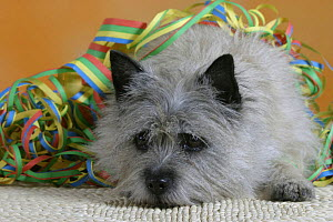 Domestic dog, Cairn Terrier with streamer  -  Petra Wegner