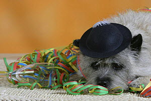 Domestic dog, Cairn Terrier lying in party streamers and wearing a hat  -  Petra Wegner