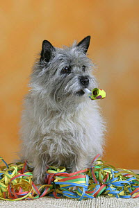 Domestic dog, Cairn Terrier with party flute and streamer  -  Petra Wegner