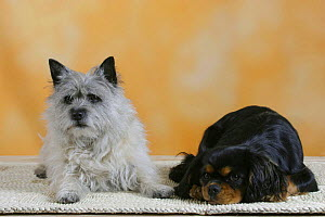 Domestic dogs, Cairn Terrier and Cavalier King Charles Spaniel  -  Petra Wegner