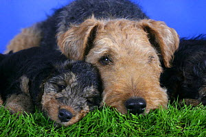 Domestic dogs, Welsh Terrier with 7 week old puppy - Petra Wegner