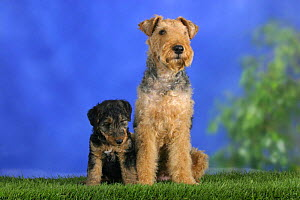 Domestic dog, Welsh Terrier with puppy, 7 weeks old - Petra Wegner