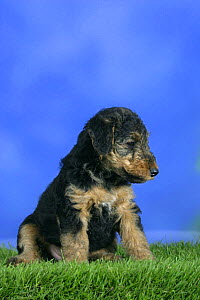 Domestic dog, Welsh Terrier puppy, 7 weeks old - Petra Wegner