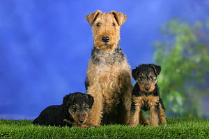 Domestic dog, Welsh Terrier with two puppies, 7 weeks old - Petra Wegner