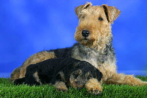 Domestic dog, Welsh Terrier with sleepy puppy, 7 weeks old - Petra Wegner