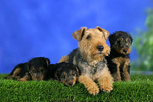 Domestic dog, Welsh Terrier with three puppies, 7 weeks old - Petra Wegner