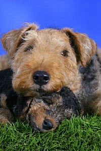 Domestic dog, Welsh Terrier with sleeping puppy, 7 weeks  -  Petra Wegner