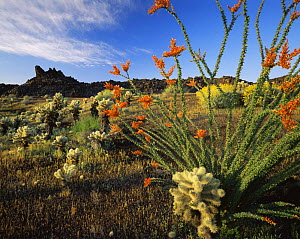 Ocotillo (Fouquieria splendens) flowering with Teddy bear cholla (Opuntia bigelovii). Inactive lava flow in background, Biosphere Reserve of the Pinacate and Gran Desierto Altar, Mexico  -  Jack Dykinga