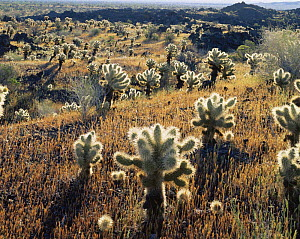 Teddy bear cholla (Opuntia bigelovii) in overgrown jagged lava flow, after rain, Biosphere Reserve of the Pinacate and Gran Desierto Altar, Mexico  -  Jack Dykinga
