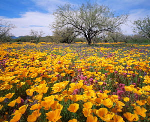 Sonoran desert plain with yellow Poppies (Eschscholtzia californica), Lupins (Lupinus sparsiflorus), and Red Owl's clover (Orthocarpus purpurascens), Quinlan Mountains, Arizona, USA  -  Jack Dykinga