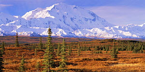 Black spruce (Picea mariana) in tundra habitat  with snow covered Mount McKinley in the background, Denali NP, Alaska, USA  -  Jack Dykinga